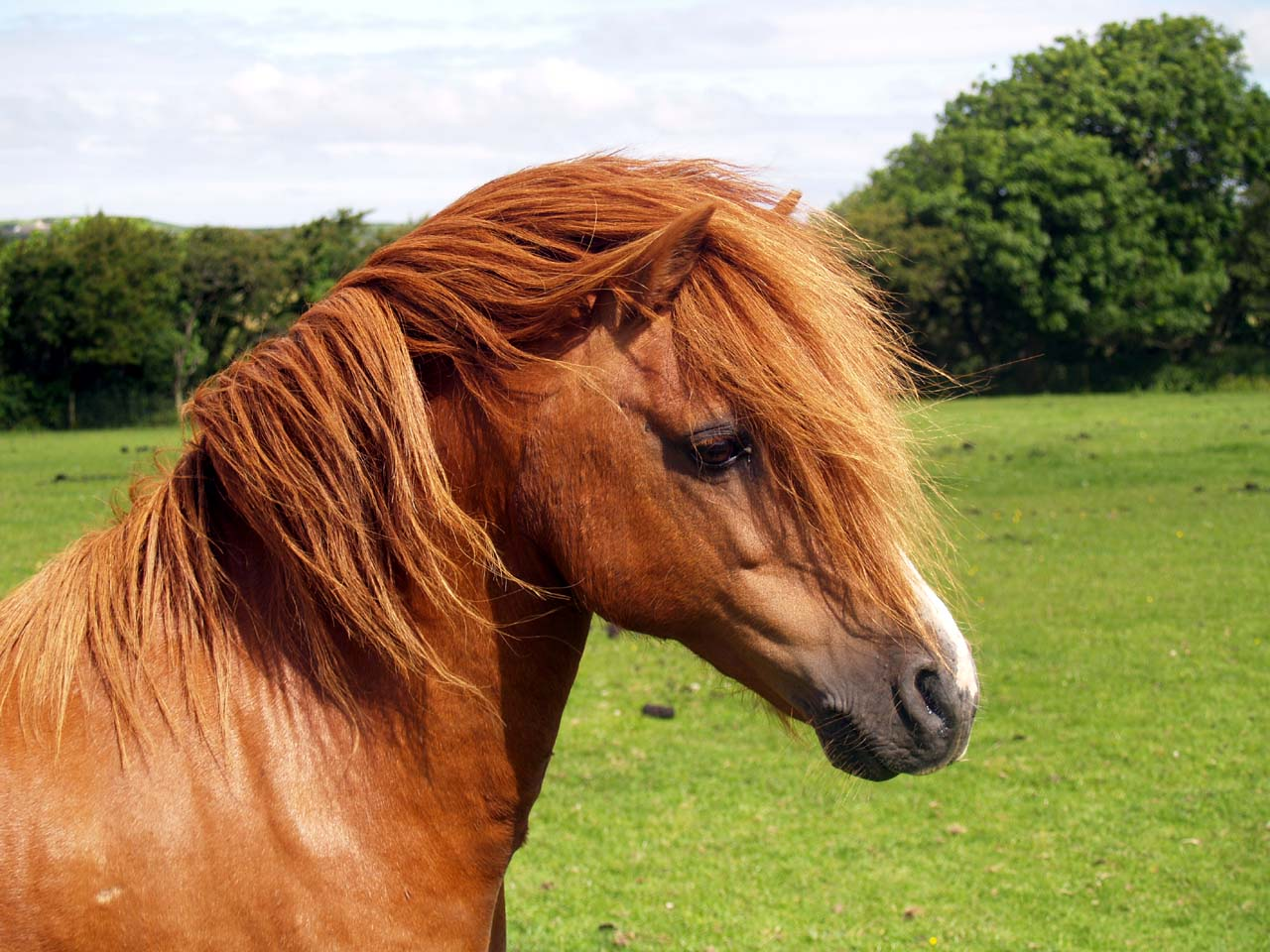 today s horse facts the welsh mountain pony horse facts. Black Bedroom Furniture Sets. Home Design Ideas