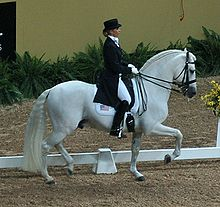White.Andalusian.in.Dressage