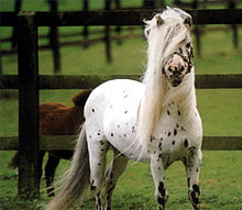 Falabella.Stallion