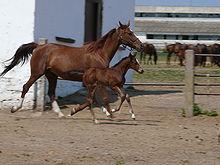 East.Bulgarian.Mare.Foal
