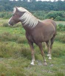 The New Forest Pony 1