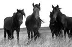 Sable Island Horse 2