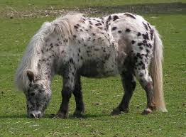 british spotted pony 3